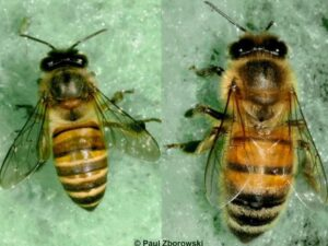 Comparison of Asian bee to European honey bee